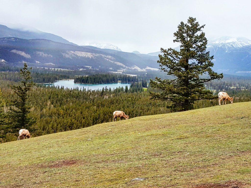 Mountain goats at Fairmont Jasper Park Lodge