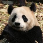 7 Facts About Pandas You Never Knew