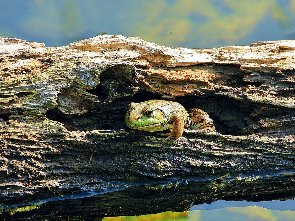 Frog in Point Pelee National Park
