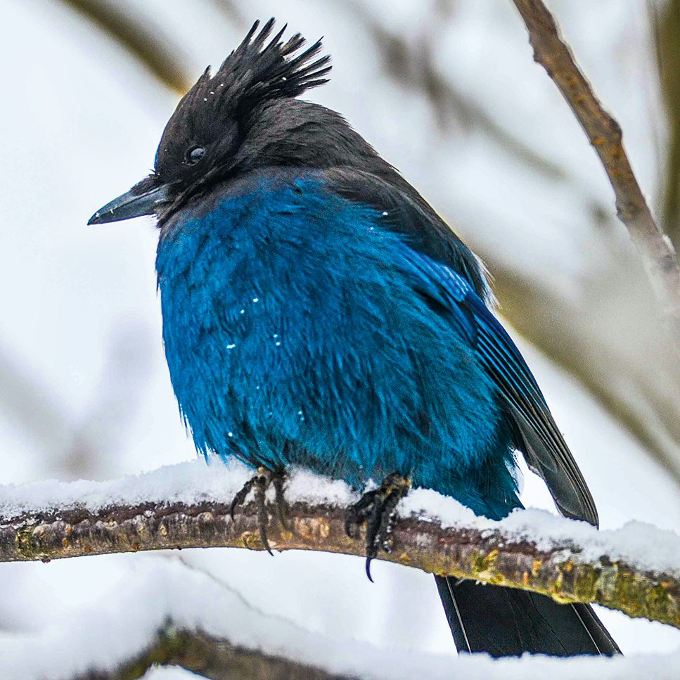 Types of birds in Canada: Steller's jay