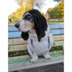 A Few (Ironclad!) Guidelines for Speaking to My Senior Basset Hound