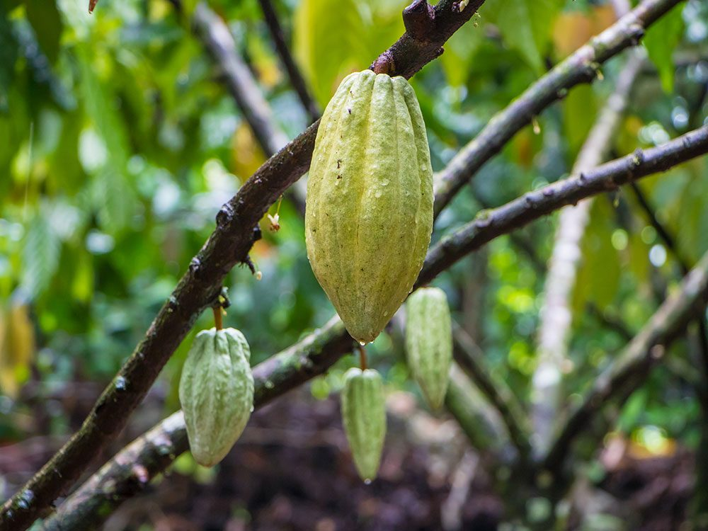 Cacao pods in Costa Rica