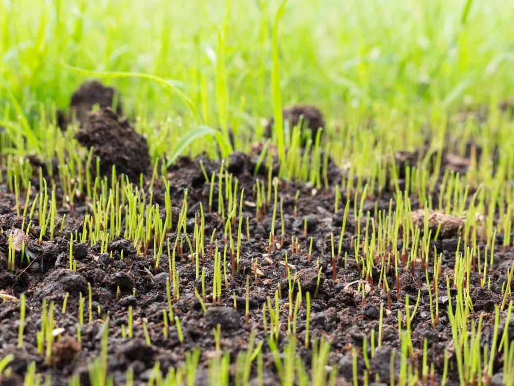 Grass seeds begin to grow on new soil in garden