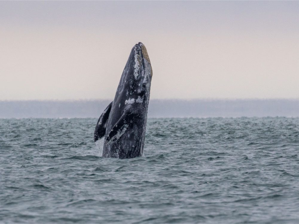 Living in Canada - Gray whale migration