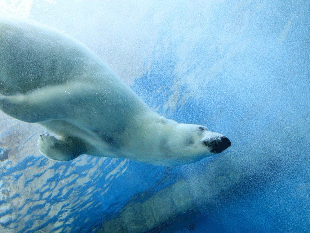 Living in Canada - Swim with polar bears