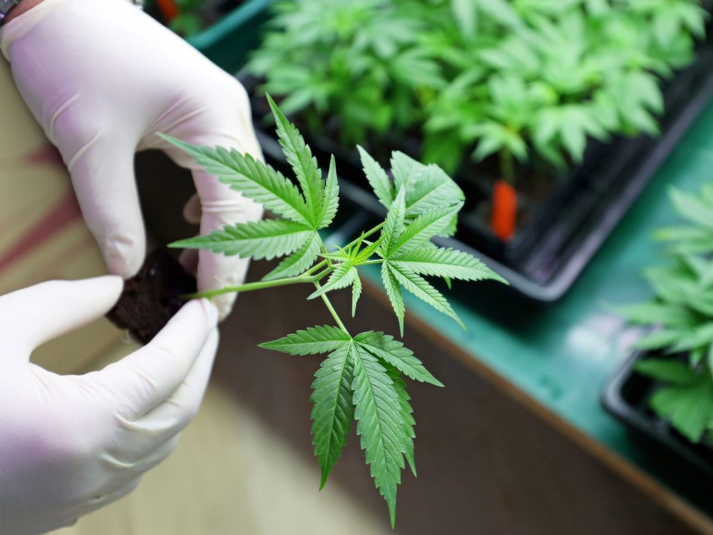 Medical cannabis being grown in lab