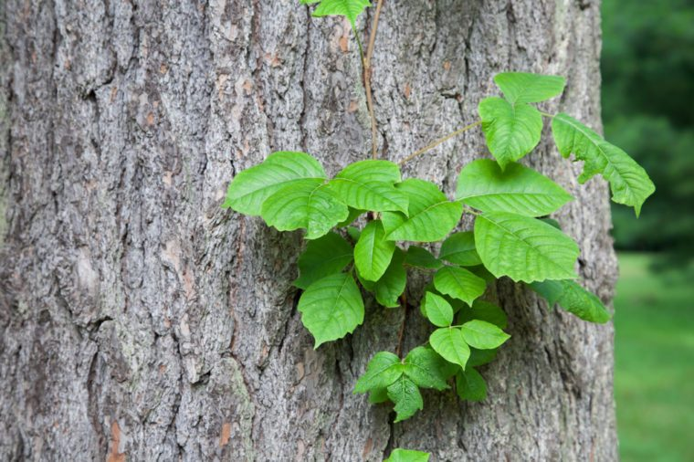 what-does-poison-ivy-look-like