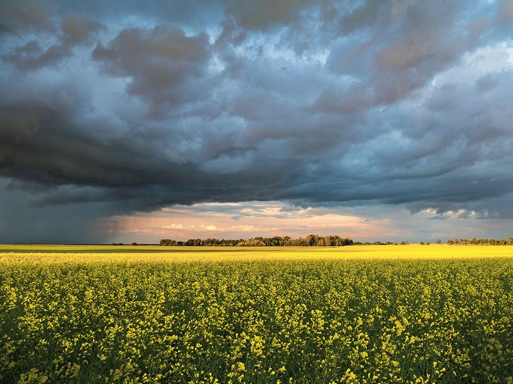 Storm over an Alberta canola field