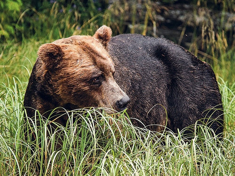 Grizzly Bear in British Columbia