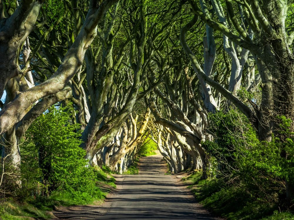 Dark Hedges trees in Northern Ireland