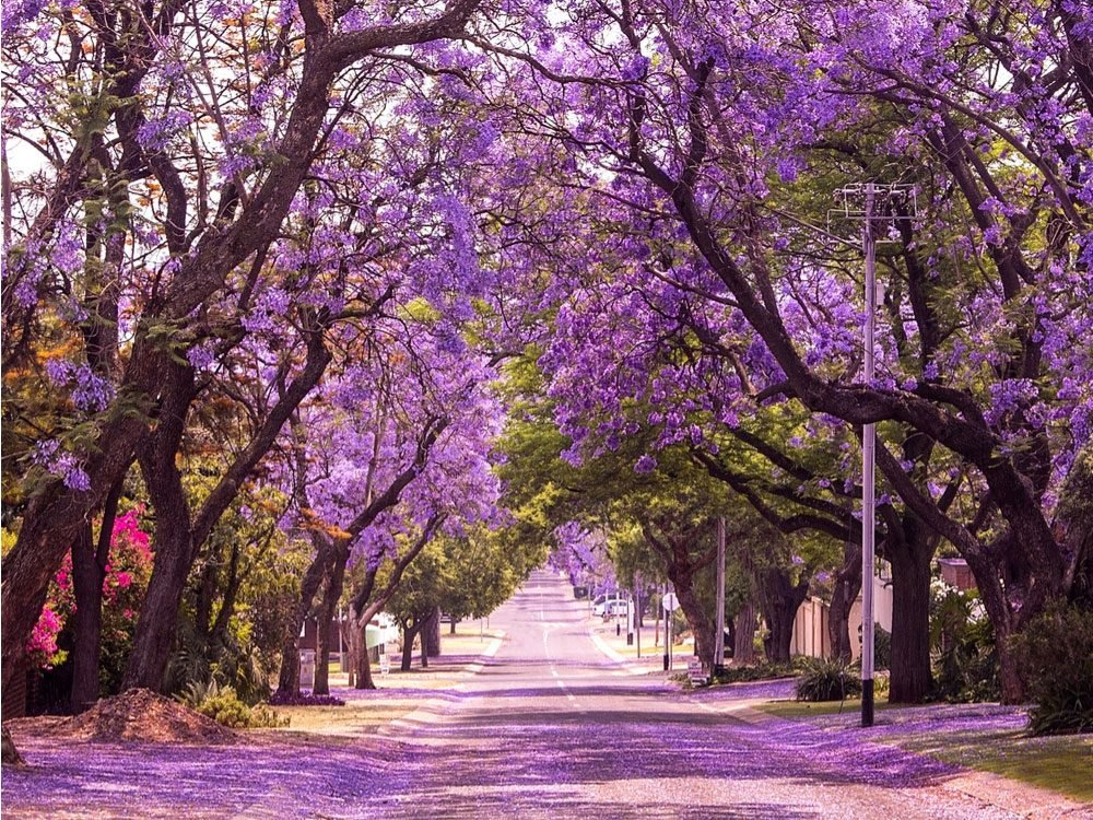 Jacaranda trees in South Africa