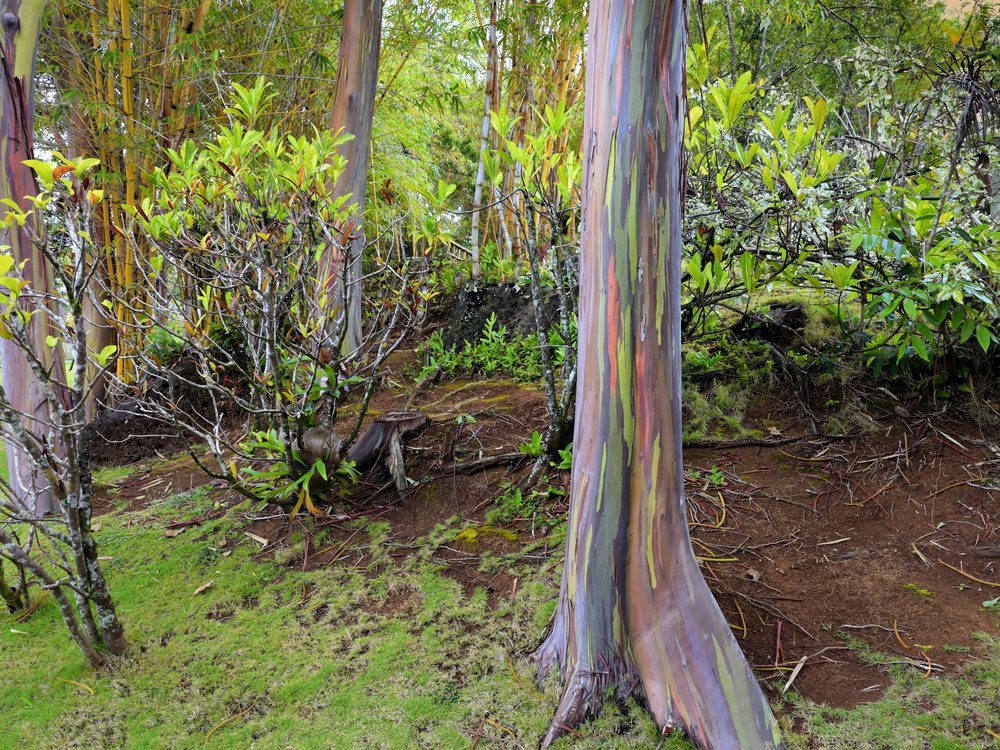 Rainbow eucalyptus tree in Hawaii