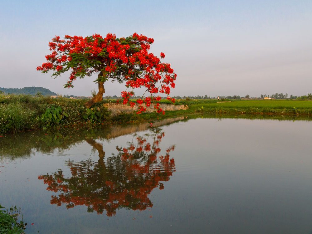 Royal poinciana in Madagascar