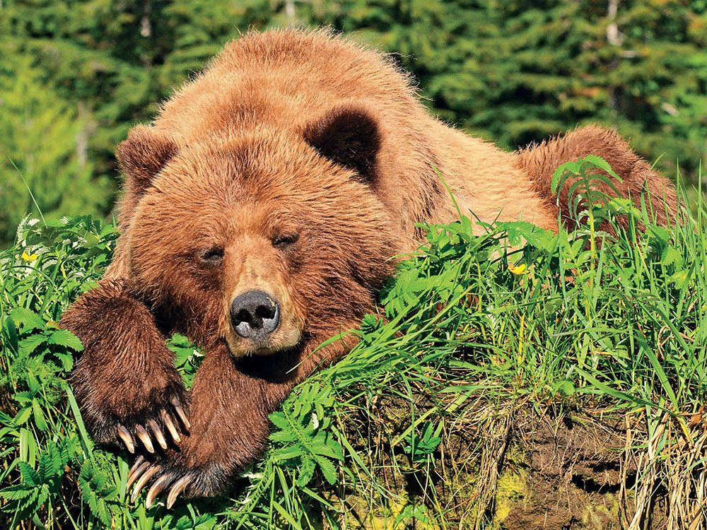 Sleep grizzly bear