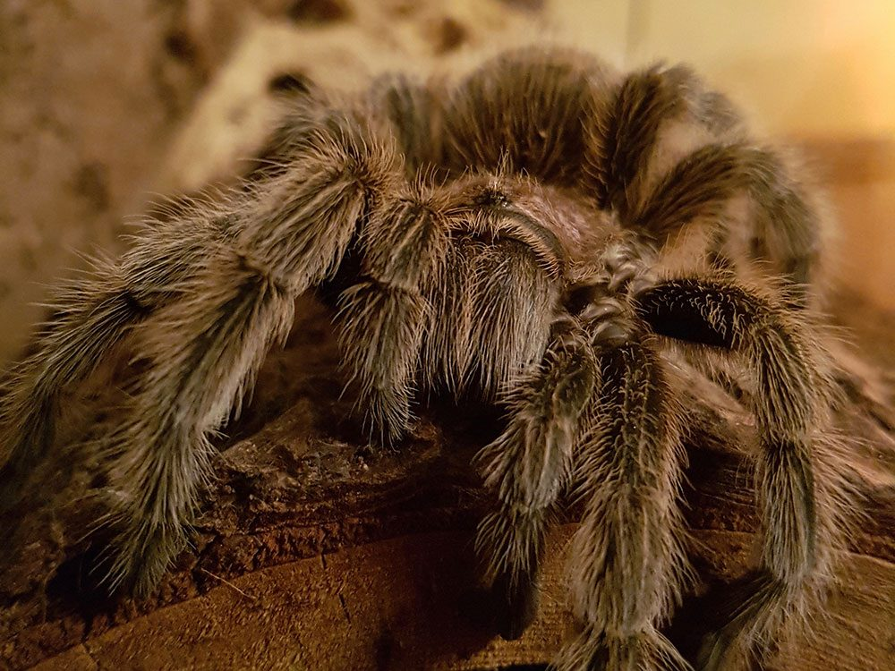 Chilean rose hair tarantula, one of Canada's unusual pets
