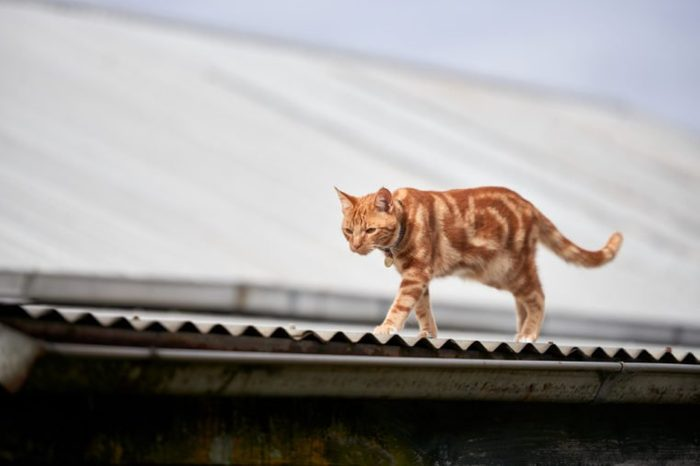 Ginger red tabby cat walking along a corrugated tin roof