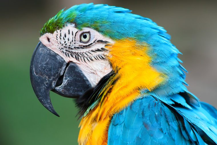 African parrot
