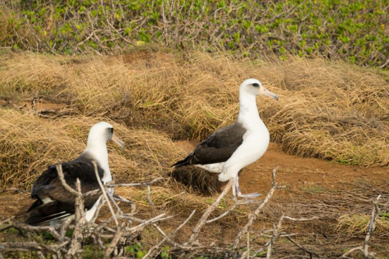 Laysan Albatross babies are dying