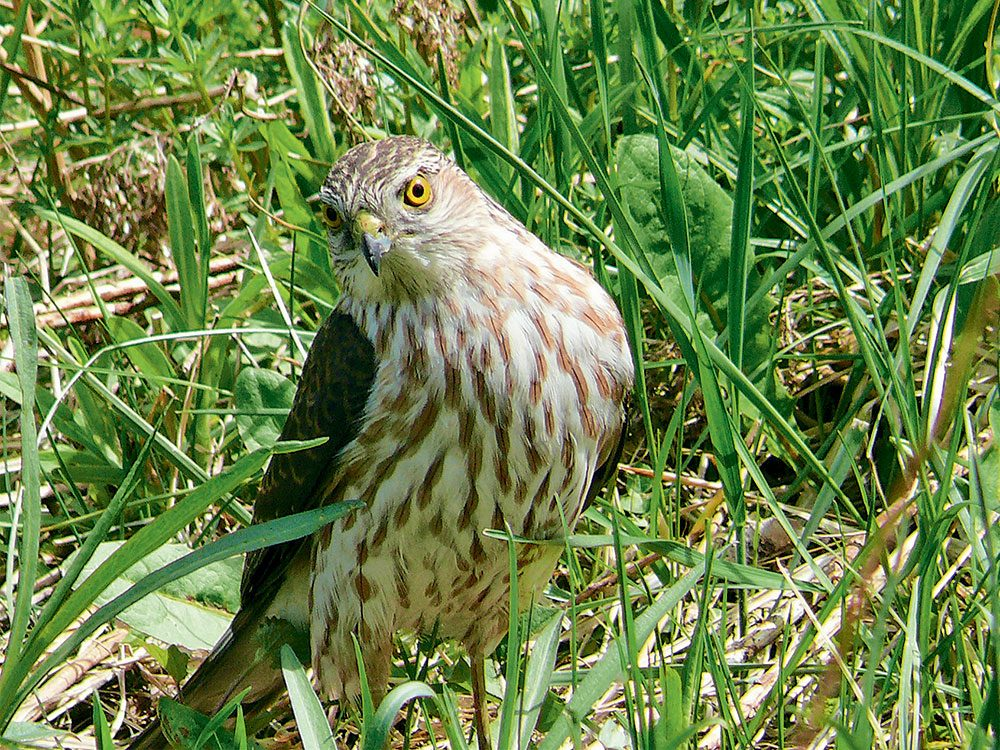 Canadian bird stories: Cooper's hawk