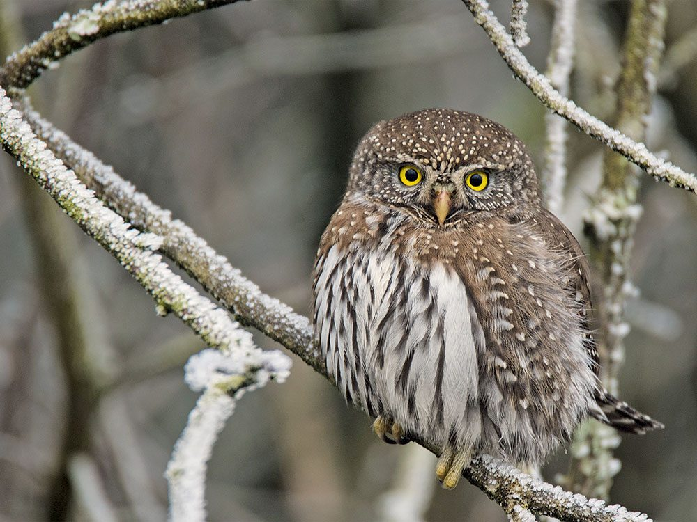 Canadian bird stories: Pygmy owl