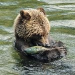 This Was the Highlight of Our Vancouver Island Grizzly Bear Tour