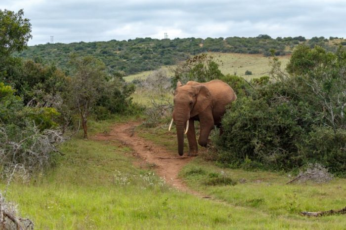 African Bush Elephant walking on the dusty foot path in the bushes.