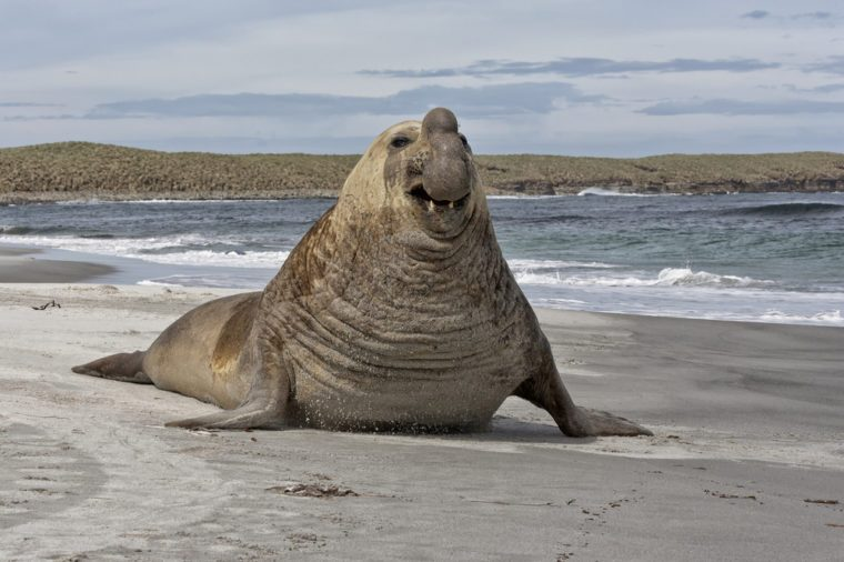 Southern Elephant Seal