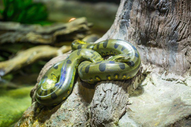 Green anaconda in the jungle