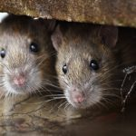 11 Pests That Could Be Hiding in Your Attic