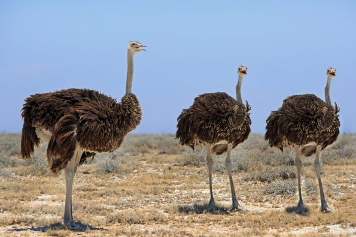 Ostriches standing on the etosha plains