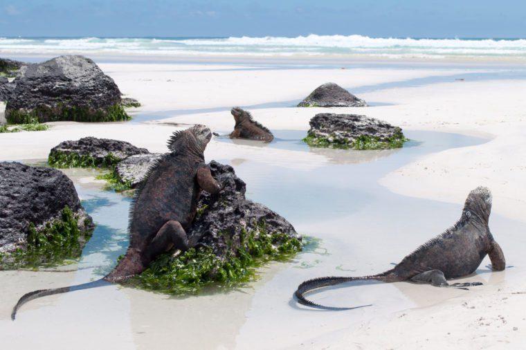 Galapagos Marine Iguanas on a beach, tortuga bay, on santa cruz island. Wild undeveloped beach with abundant wildlife.