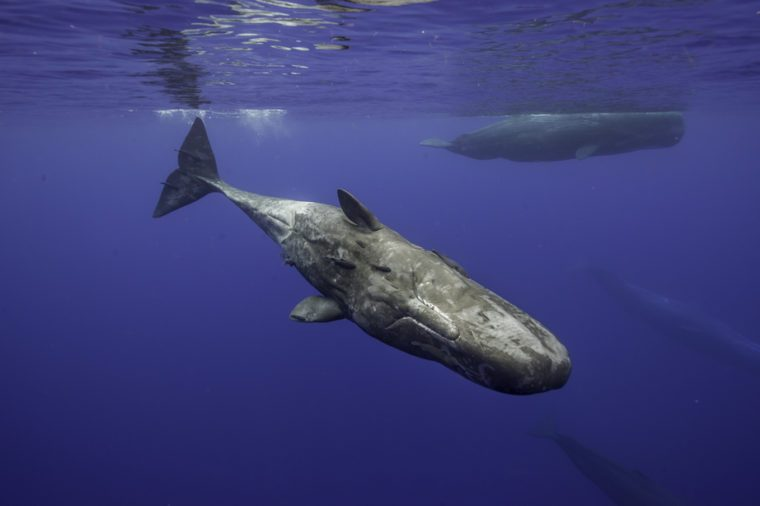 Curious sperm whale swims to the camera, Mauritius.
