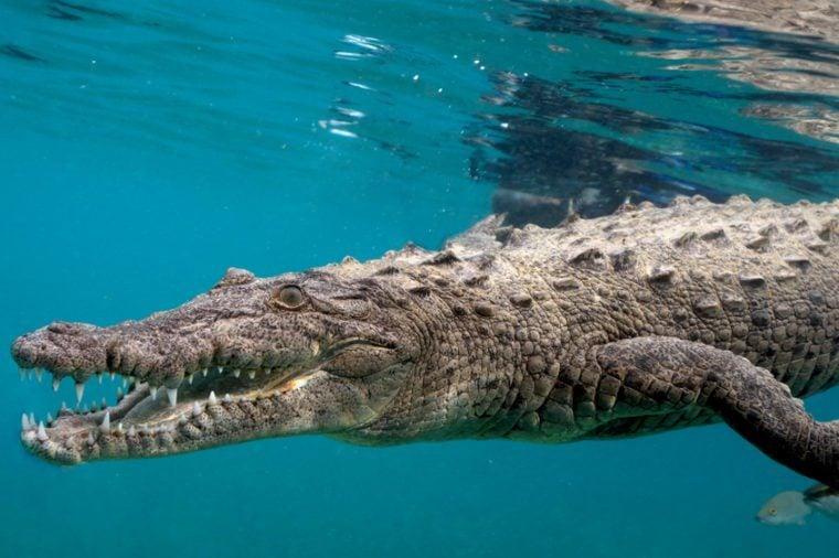 American Saltwater Crocodile in Queen's Gardens, Jardines de la Reyna Cuba