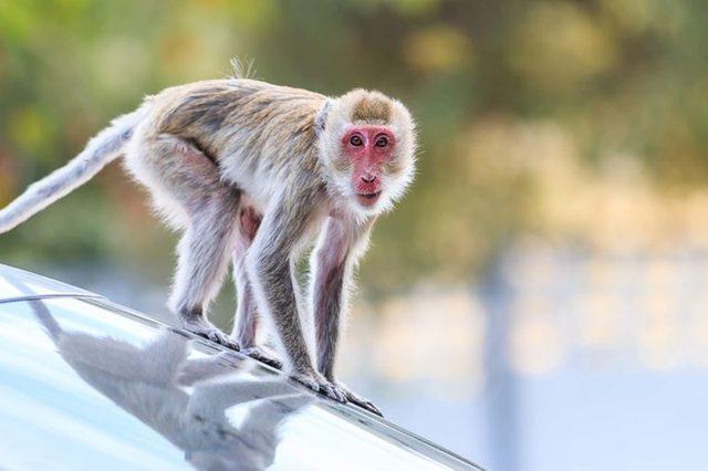 Drive-through monkey