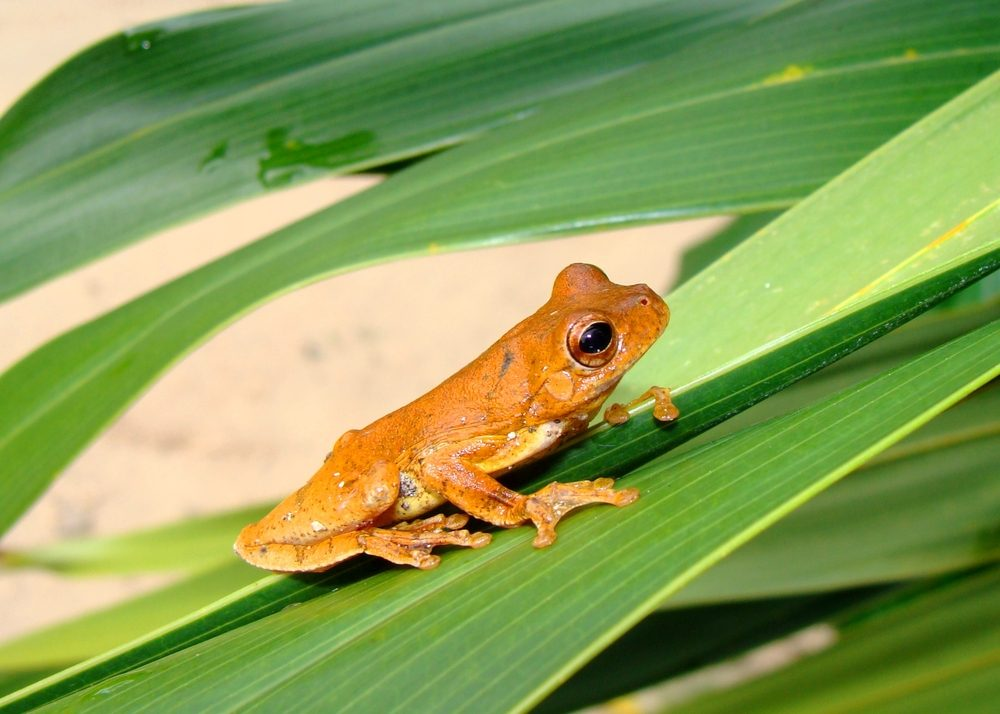 Golden colored tropical treefrog on green exotic foliage called a Mahogany Treefrog, Hyla loquax