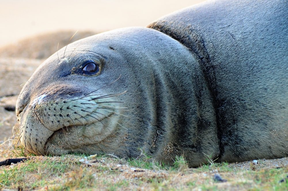 A Monk seal lays on a sandy beach, in the Hawaiian islands on a hot summer day