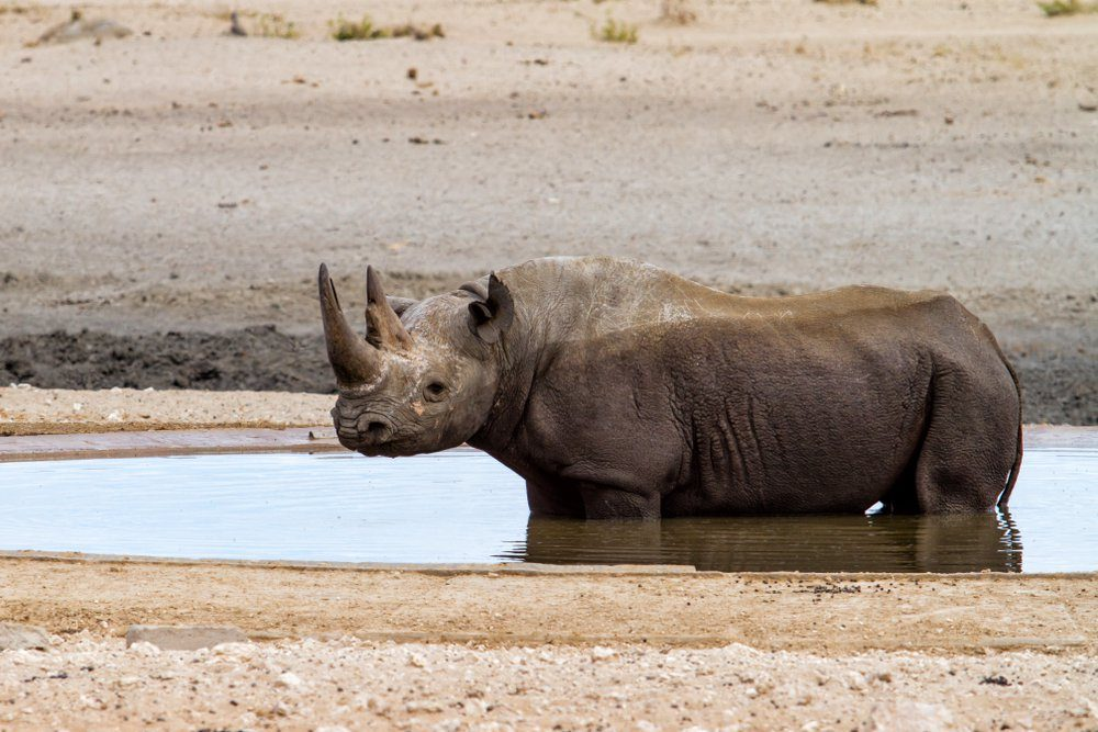 Black rhino bull taking a bath at a waterhole in the western part of Etosha National Park in Namibia