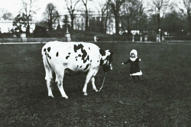 Pauline the Cow