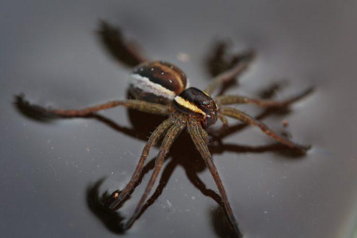 Water spider close up, soft focus