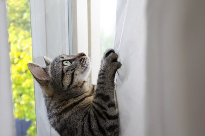 Cat climbing the curtains at home
