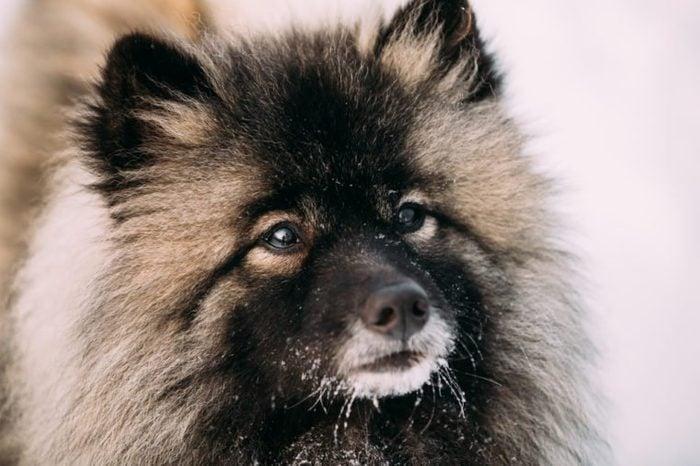 Close Up Of Keeshond, Keeshonden Dog In Snow, Winter Season.