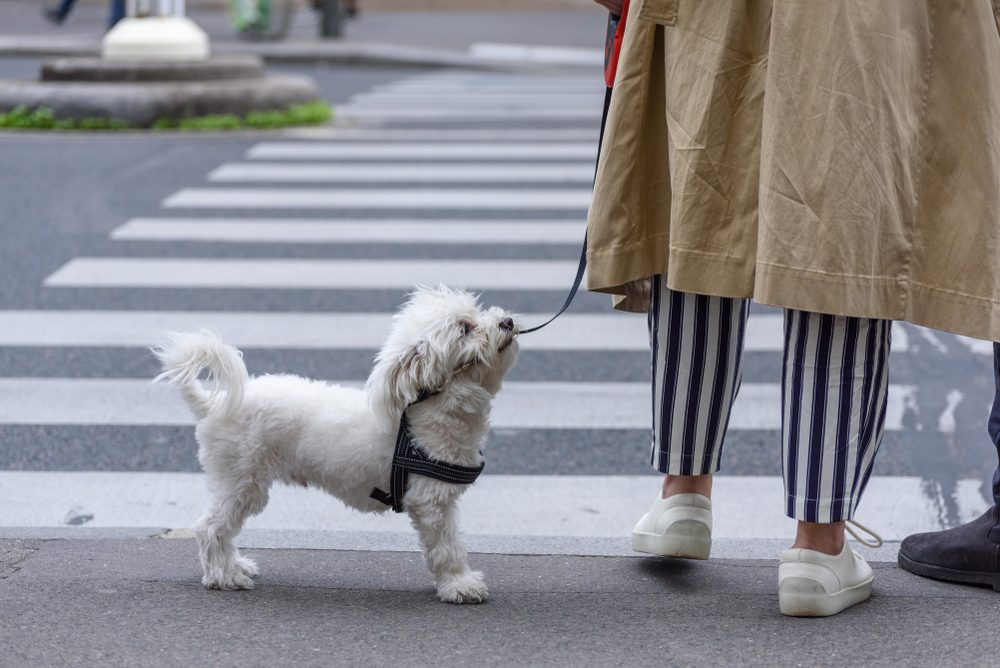 Dog with leash about to cross the road