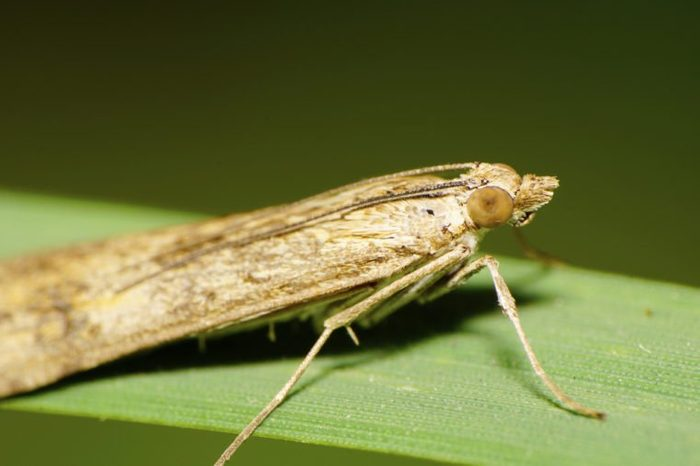 Macro side view of the front of the large light, fluffy moth with krylmi Caucasian, legs, head, eyes, antennae squatting on a green blade of grass