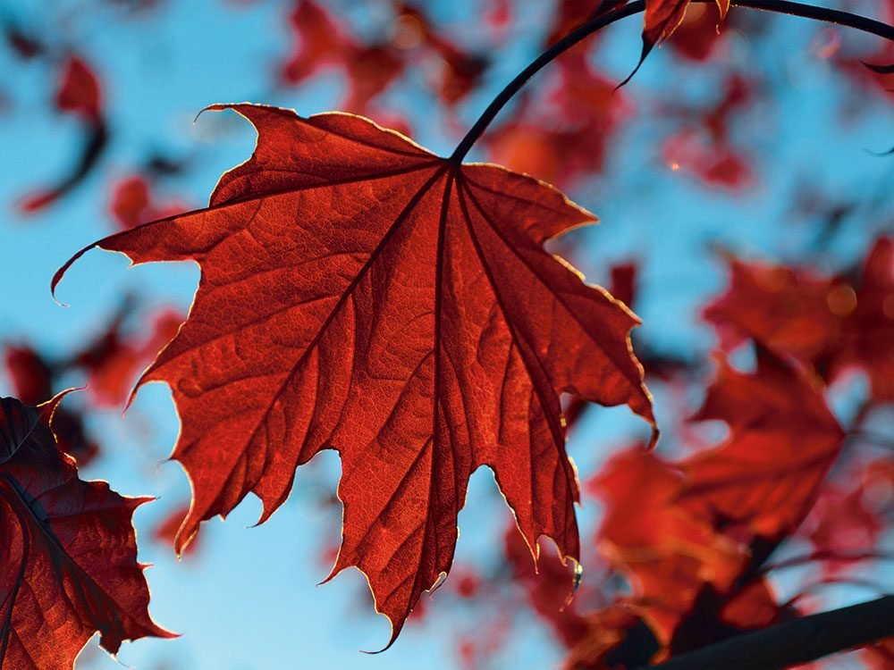 Autumn in Canada - red maple leaf