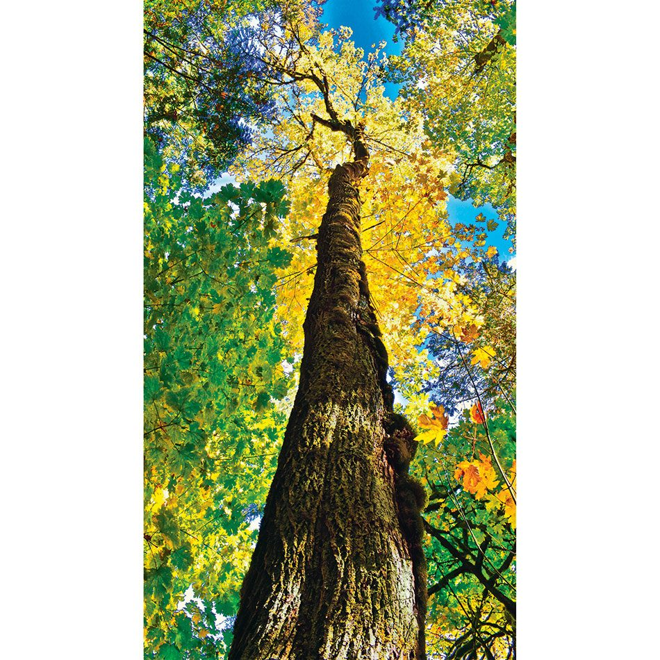 Autumn in Canada - Towering tree