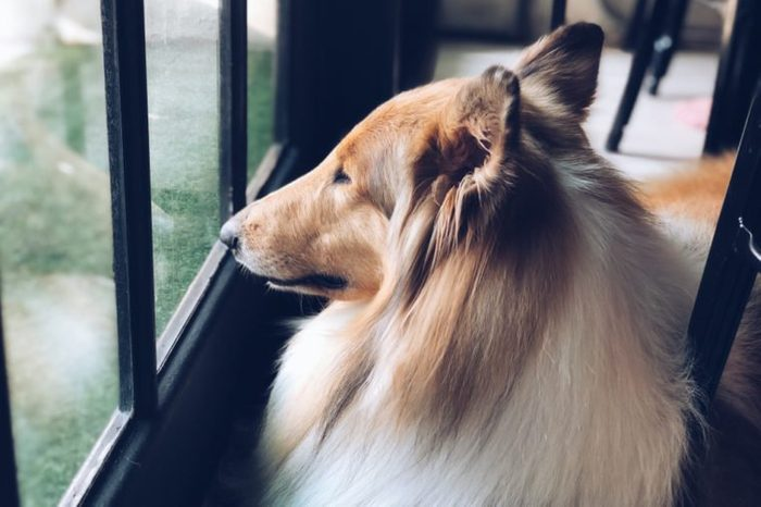 Collie dog looking out of the window