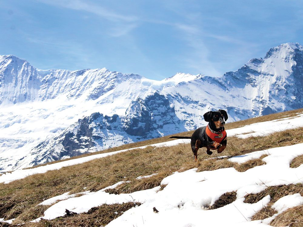 Crusoe the Celebrity Dachshund in Switzerland