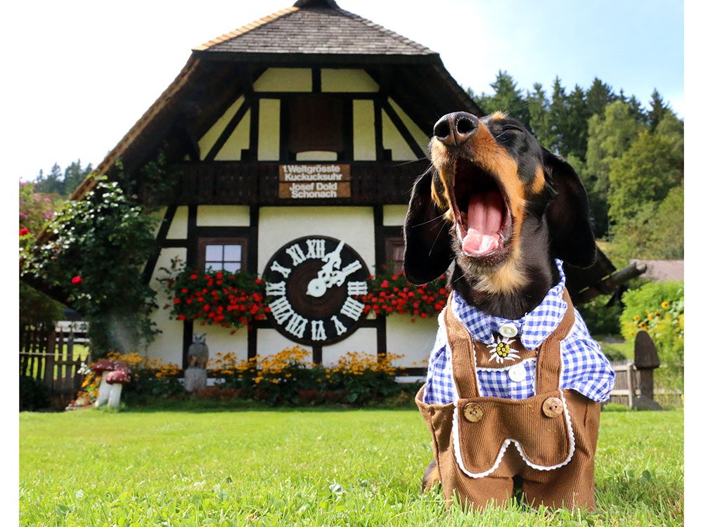 Crusoe the Celebrity Dachshund with cuckoo clock