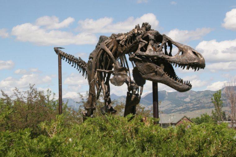 Tyrannosaurus Rex mounted skeleton, Museum of the Rockies, Bozeman, Montana, USA April 20th 2010