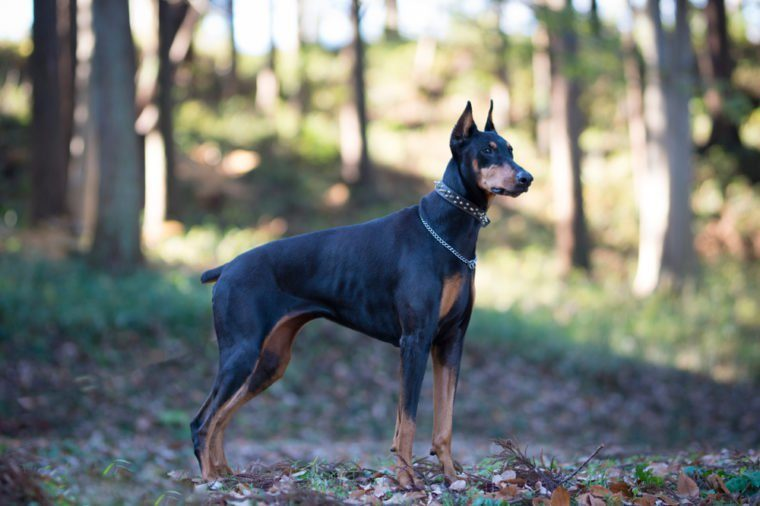 Beautiful Doberman in the forest